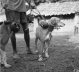 Chiens de chasse nyanga