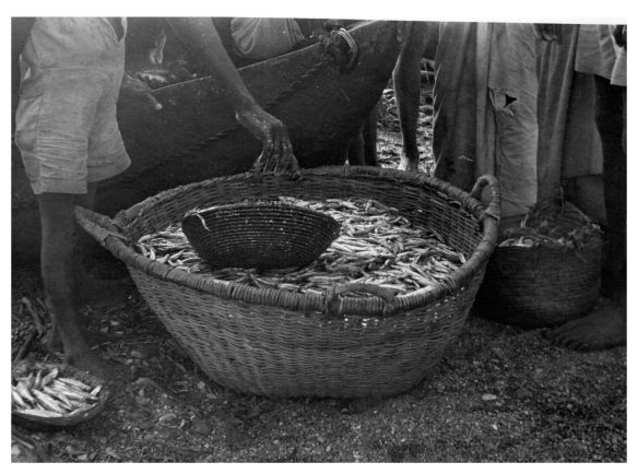 Fresh ndaga in basket1950
