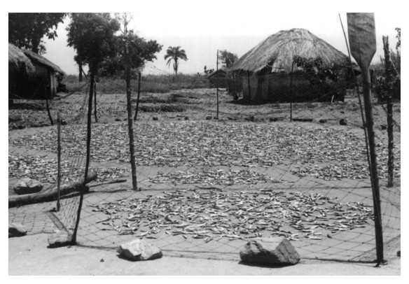 ndagaa fish drying number 45 1950